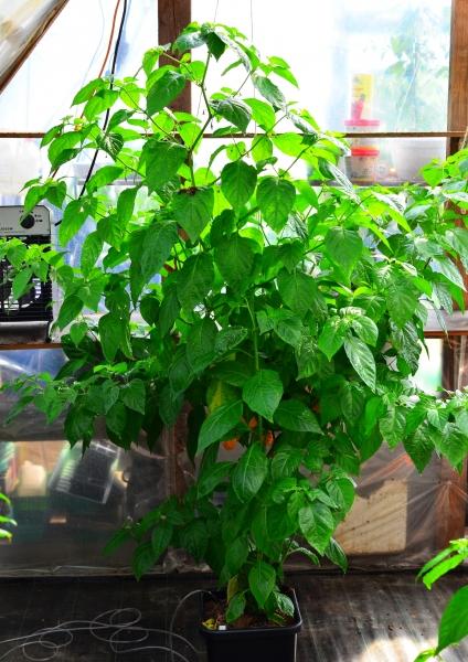 Scotch Bonnet (Capsicum chinense)