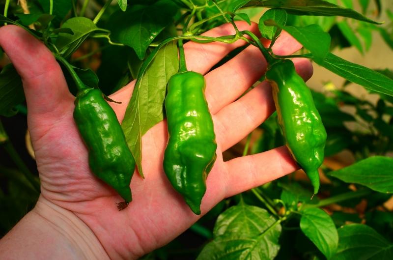 Starfish x Hot Tree Pepper F3 (Capsicum baccatum x Capsicum baccatum)