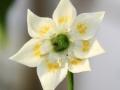 Capsicum baccatum-lajin kukka