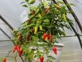 Aji Benito (Capsicum baccatum) amppelissa.