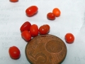 CAP 1144 (Capsicum praetermissum)
