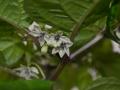 Capsicum chinense-lajin kukka