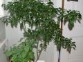 Capsicum flexuosum