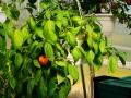 Orange Rocoto (Capsicum pubescens) amppelissa.