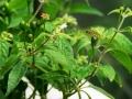 CAP 1144 (Capsicum pratermissum) ja luonnon oma pölyttäjä :)