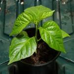Tobagot Sweet taimi kookoskuidussa