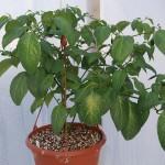 Hyvin kasvava Rocoto Montufar huhtikuussa kasvihuoneessa.